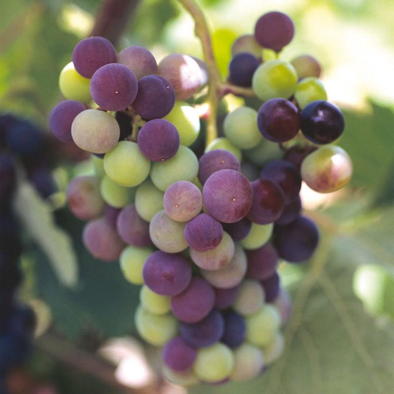 fiesta de la uva moscatel